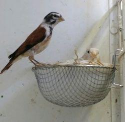 Alario x silver isabel canary