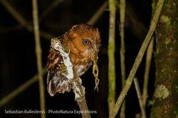 Santa Marta screech-owl / Megascops sp