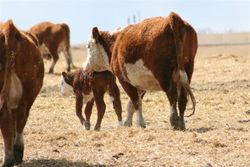 Purebred cattle