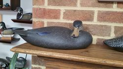 Sleeping Black Duck