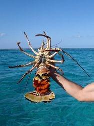 Monster Lobster in Mayaguana