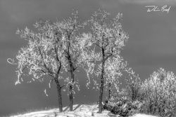 Icy Trees on the Channel Black and White
