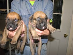 Two boy bullmastiff puppies.