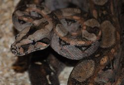 Tarahumara Mountain Boa