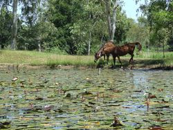 Horses by the billabong
