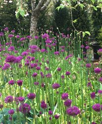 Alliums under the Apple blossom