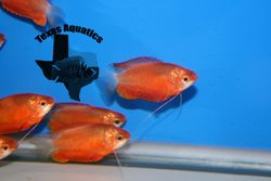 Red Honey Dwarf Gourami