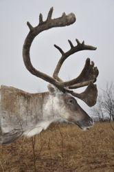 Barren land Caribou in velvet