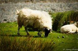 More sheeps of Skye