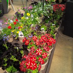 check out those Black Petunia's