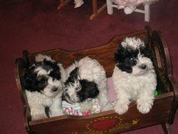 Three beautiful Coton Puppies!