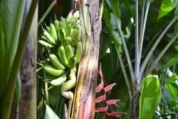 Magic banana tree