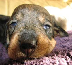 dog pup 14 days 7