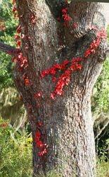 Virginia Creeper on the old oak tree