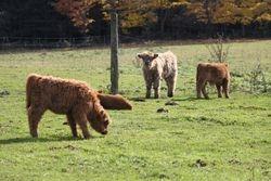 2012 Calves