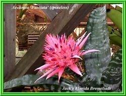 Aechmea fasciata 'Primera'  (spinelss) $20.00