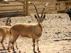 Israeli Ibex