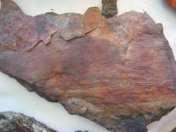 Fossil leaf found on McIntyre Mountain during one of our PA Fossil Collecting Weekends