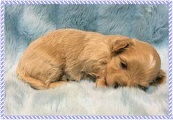 Maltipoo FurBabies Alec at 3 weeks old