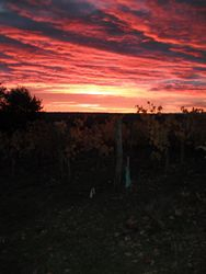 Early morning sunrise over the vines
