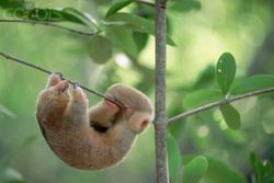 SILKY ANTEATER (SLOTH) 2