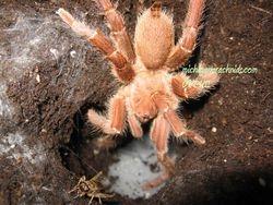 Pelinobius muticus breeding 2011/09