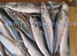 Mackerel scomber japonicus Japan