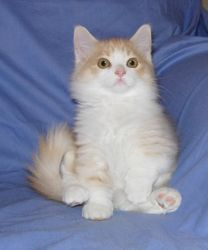 Mom J Low's cream and white bi-color longhair Ragdoll Munchkin boy