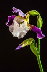 Spring Iris by Marilyn Victor (AW)