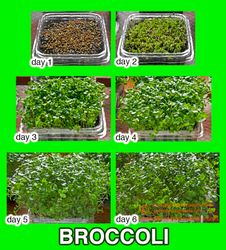 BROCCOLI Microgreens, sequence of days 1 to 6