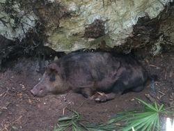 S. FL Boar Hog