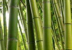 Bamboo - Green