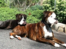 Komrad and Jasmines puppies 1 year old