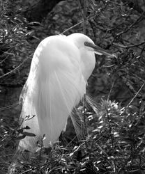 Great White Egret keeping watch