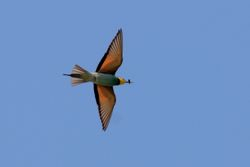 European Bee-eater  -  GUEPIER D'EUROPE