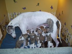 Lacey - With her New Year's litter of eight puppies