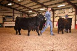 Midwest black heifers
