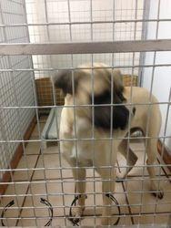Bazinga 1 year old Mastiff