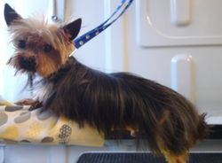 (After) Tea Cup Yorkshire Terrier