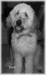 Jeanie Standard Goldendoodle!