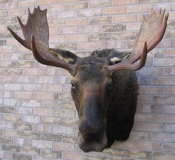Ontario Full Shoulder Moose