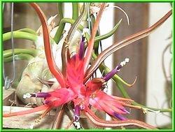 Tillandsia bulbosa 'Red Form' Guatemala $4.50