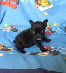 Reba:  $3295 after spay rebate, full AKC with breeding rights $3795,