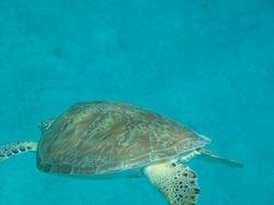 Turtle Taking a Swim