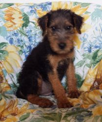 HERMAN: $695 companion, Male, AKC Oorang Airedale Terrier, born 2-26-15, 2 year health guarantee, Reunite microchip, vet puppy exam, care recommendations, care support and guidance, current vaccinations and wormings, home raised with paper trainin
