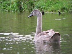 Mute swan cygnet 1