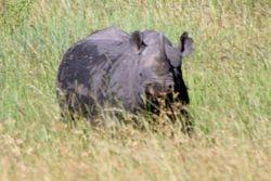 Black Rhino - Masai Mara Game Reserve