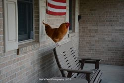 Visiting Rooster