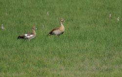 Egyptian Goose (spot the Ruffs)
