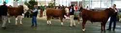 Junior Champion Bull judging